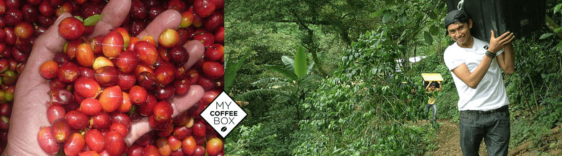 triunfo verde cafe organico de chiapas mycoffeebox