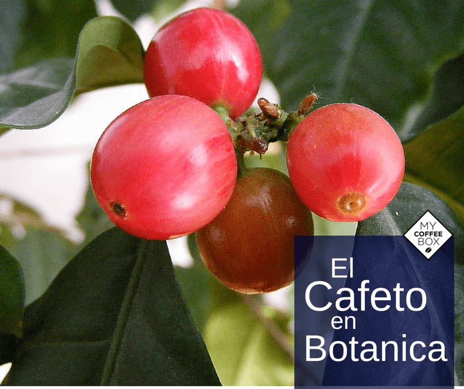 el cafeto en botanica mycoffeebox